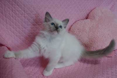 ラグドール子猫ちゃん 2ヶ月_e0033609_23265460.jpg