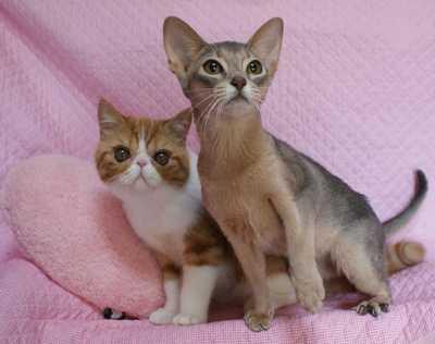 エキゾ子猫ちゃんグレム&アビシニアン  ブルーのハッピー_e0033609_23573171.jpg