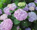 満開紫陽花