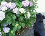 紫陽花とろく