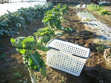 メキャベツの収穫ピークです_c0222448_1140591.jpg