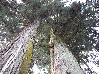 関市の巨木を2本_e0064783_22235125.jpg