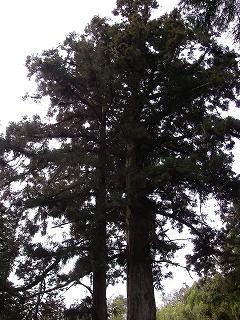 関市の巨木を2本_e0064783_22241344.jpg