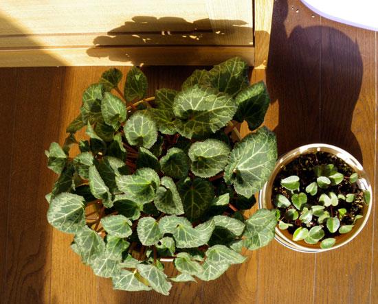 簡易温室の花芽とミニシクラメン_a0136293_17415273.jpg