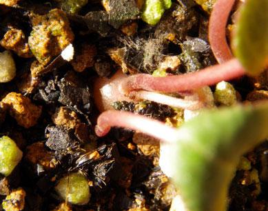 簡易温室の花芽とミニシクラメン_a0136293_17421056.jpg