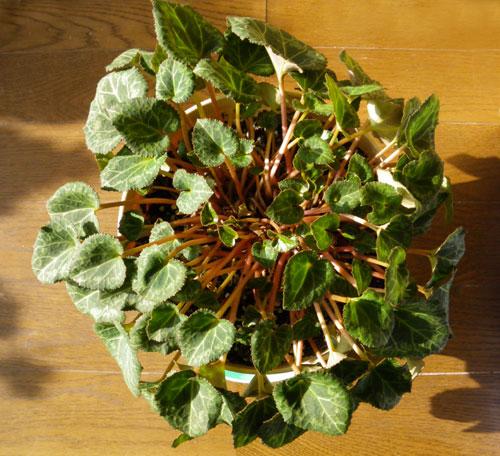 簡易温室の花芽とミニシクラメン_a0136293_17423079.jpg