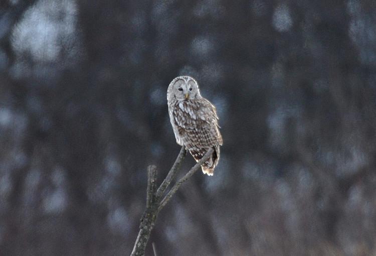 冬の高原の主~フクロウ_b0148352_6424733.jpg