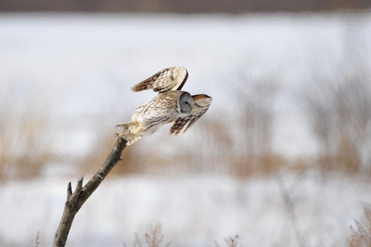 冬の高原の主~フクロウ_b0148352_644212.jpg