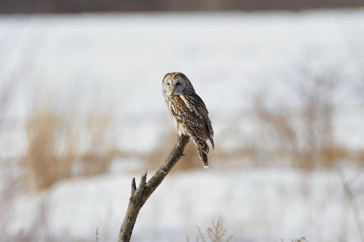 冬の高原の主~フクロウ_b0148352_644539.jpg