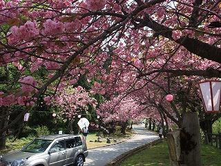 2009年 倶利迦羅さん八重桜まつり_c0208355_114371.jpg