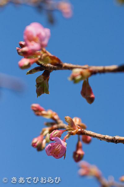 咲き始めました。_f0077521_15153164.jpg