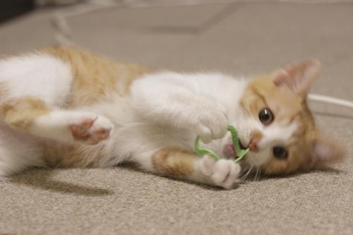 おもちゃを捕まえて遊ぶ澪っち
