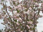 薄八重桜.jpg
