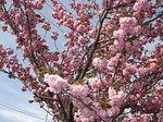 濃紅色八重桜.jpg