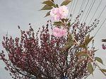新旧八重桜.jpg