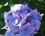 朝の紫陽花jpg