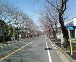 桜並木開花前