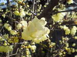 黄色の梅.JPG