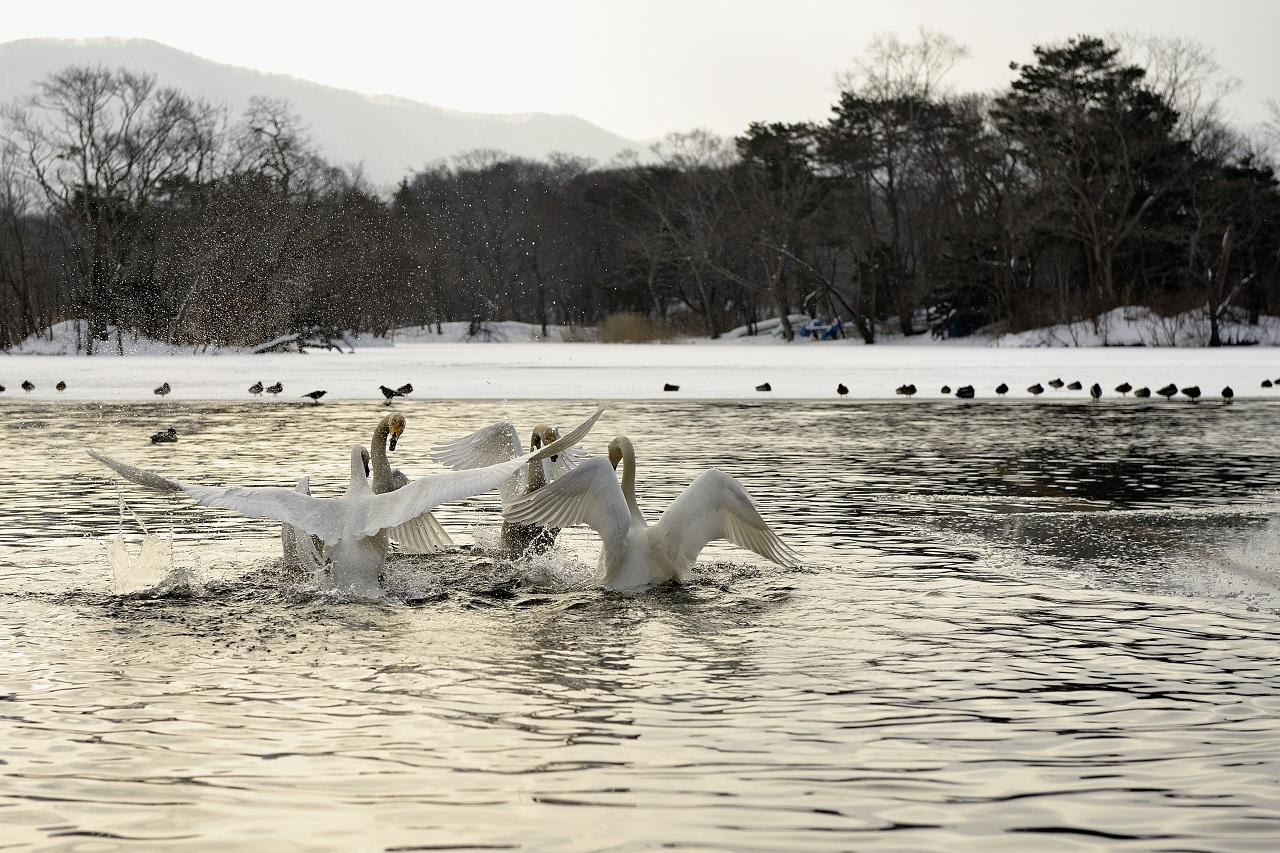 白鳥の舞_e0171886_22583538.jpg