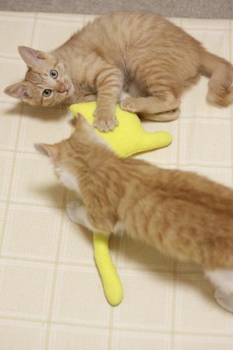 さっそく黄猫さんに挑みかかる茶系兄弟