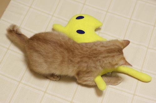 黄猫さんを押さえ込む櫂っち