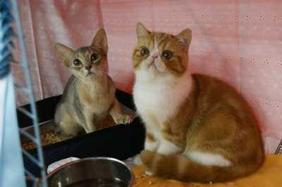 TICA REAGIONAL CATSHOW ハッピーちゃんとグレムリン _e0033609_18223041.jpg