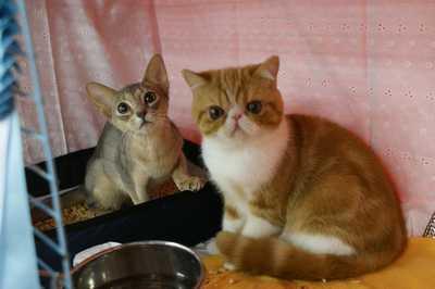 TICA REAGIONAL CATSHOW ハッピーちゃんとグレムリン _e0033609_18244232.jpg