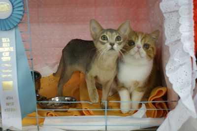 TICA REAGIONAL CATSHOW ハッピーちゃんとグレムリン _e0033609_18245375.jpg