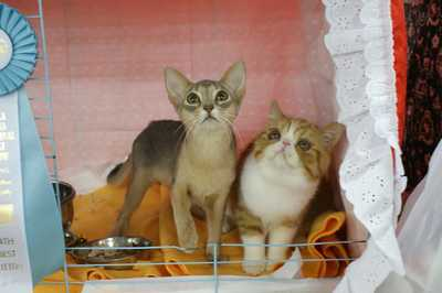 TICA REAGIONAL CATSHOW ハッピーちゃんとグレムリン _e0033609_18252437.jpg