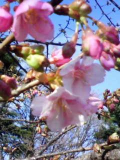 河津桜_f0115027_1535025.jpg