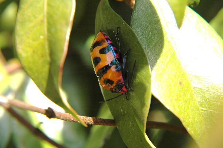 何の虫?(?_?)初めて見ました、オオキンカメムシ_e0194952_20283637.jpg