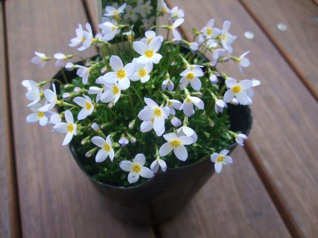 オークリーフ(花の色)_f0049672_16454826.jpg