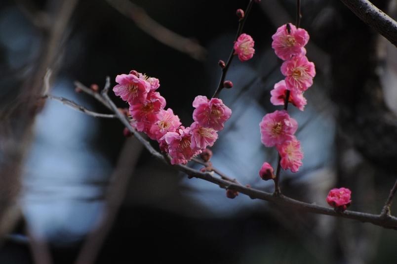 梅林の紅千鳥が咲いていた@馬事公苑_d0056382_022256.jpg