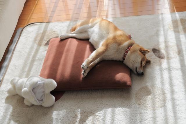 かぼちゃんの寝顔_a0126590_041167.jpg