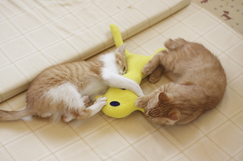 黄猫さんと闘う茶系兄弟