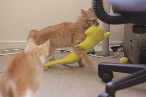 黄猫さんを銜えて運ぶ櫂っち