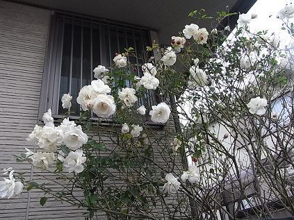 白いバラ♪_b0105897_14144345.jpg