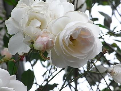 白いバラ♪_b0105897_14173345.jpg