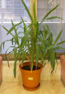 待合室にある観葉植物15年位経ってます!_f0209045_1115071.jpg