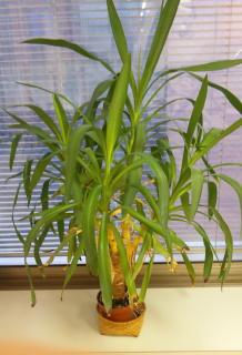 待合室にある観葉植物15年位経ってます!_f0209045_117378.jpg