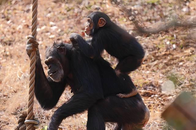 チンパンジーの親子_f0044056_53077.jpg