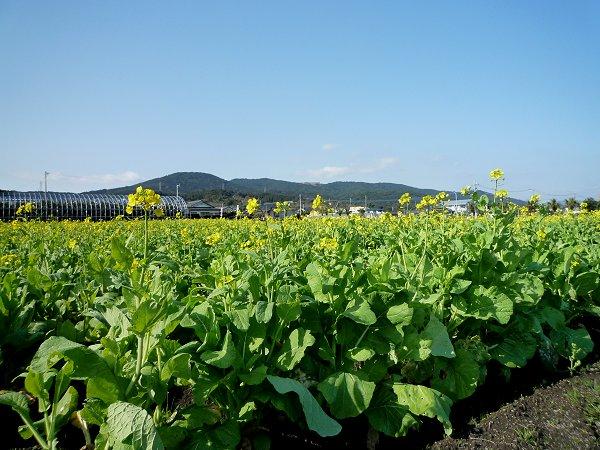 いぶすき菜の花マーチ・その5_d0030373_23354041.jpg