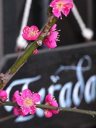 玄関の梅が咲きました♪_b0105897_10264554.jpg