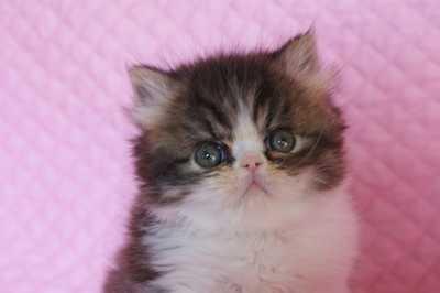 エキゾ子猫ちゃん 5週目_e0033609_15201683.jpg
