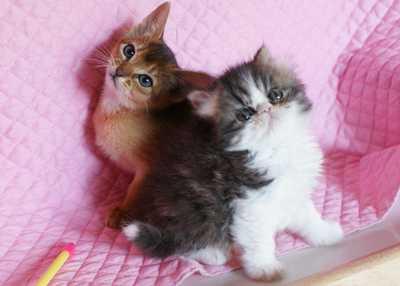 エキゾ子猫ちゃん 5週目_e0033609_15202739.jpg