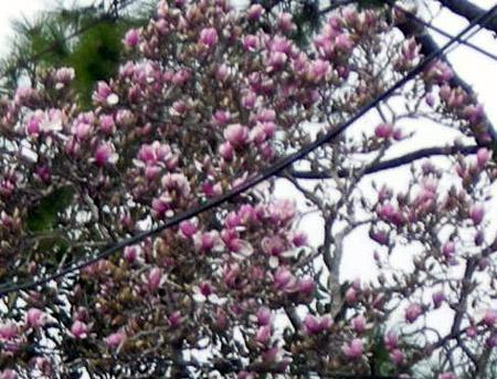 Japanese Magnolia_d0000995_9393335.jpg