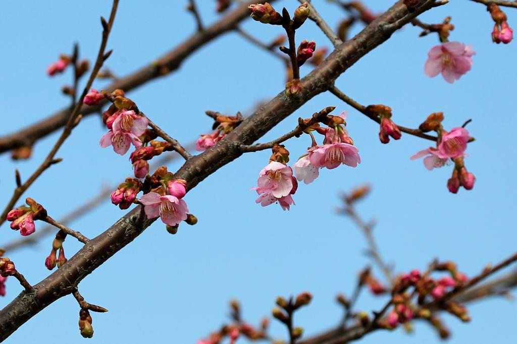川下のカワセミ/河津桜が咲き出しました_b0024798_4474591.jpg