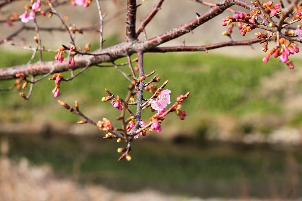 川下のカワセミ/河津桜が咲き出しました_b0024798_4475487.jpg