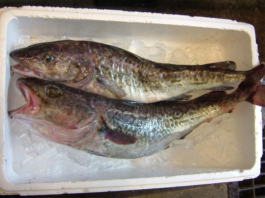 タラ!!!歴史的な大漁!!_c0110051_0435667.jpg