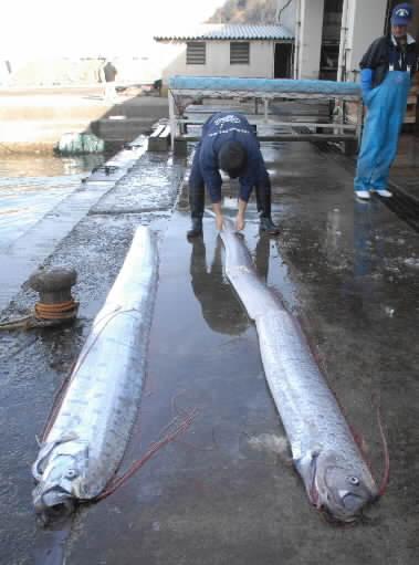 タラ!!!歴史的な大漁!!_c0110051_0445123.jpg